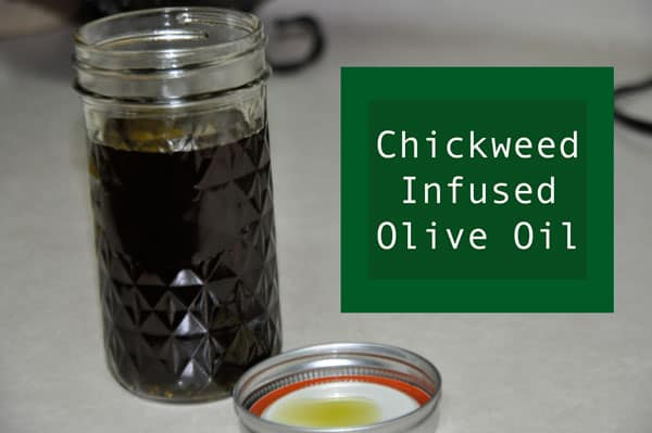 Chickweed Infused Olive Oil @jasminejlucero