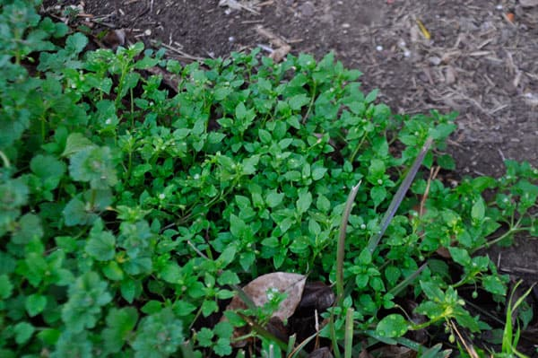 Chickweed in Yard @jasminejlucero