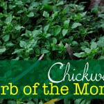 Herb of the Month: Chickweed