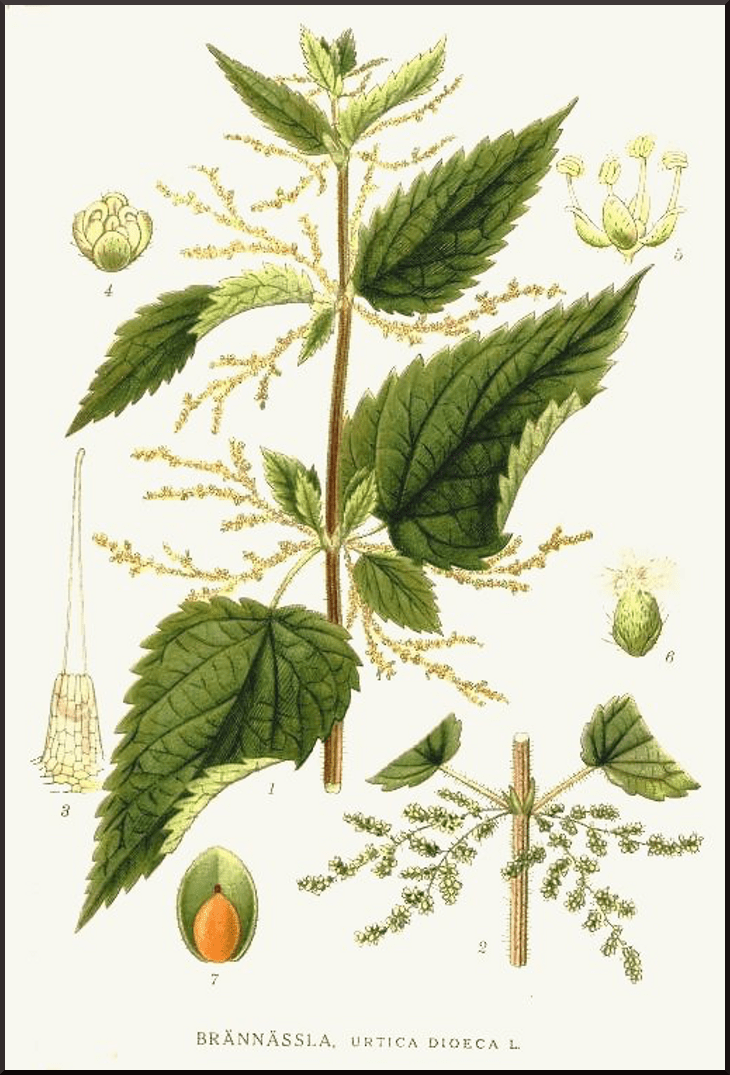 Herb of The Month: Nettle @jasminejlucero @shatulwellness