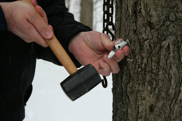 Tapping-Maple-Trees-with-Tap-My-Trees1