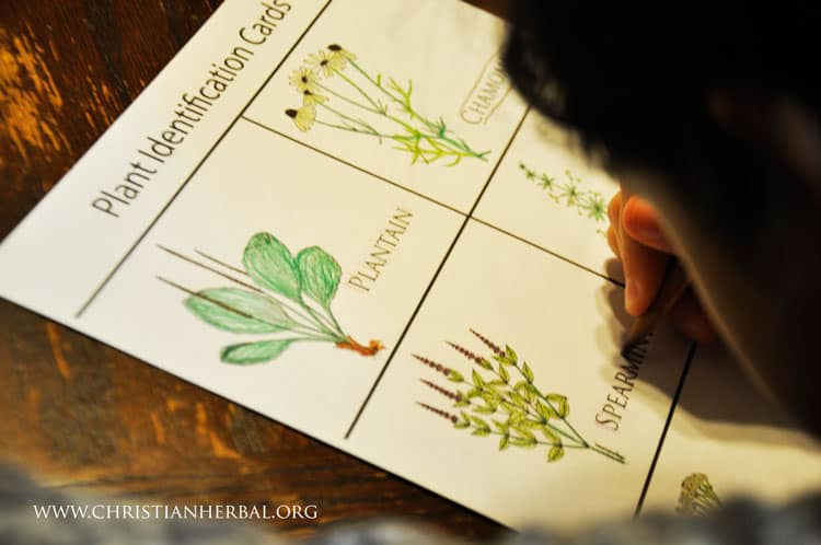 Teaching Kids About Herbs: Plant Identification Cards