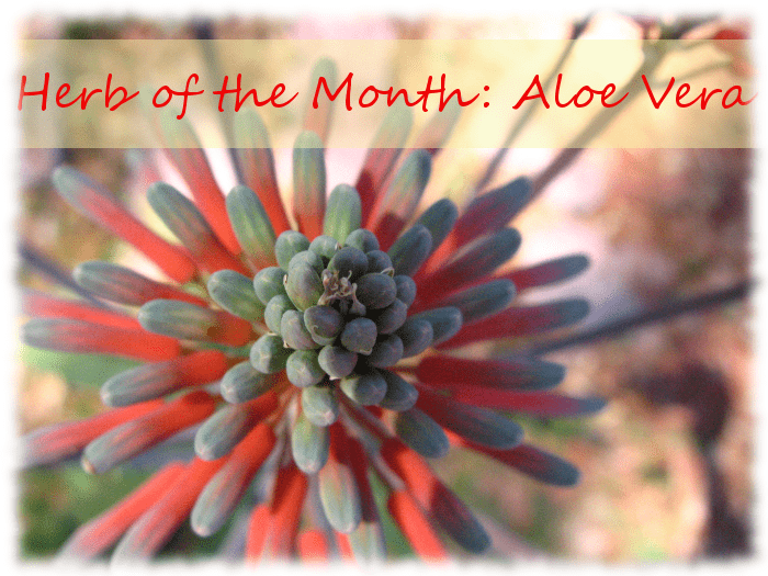 Herb of the Month: Aloe Vera