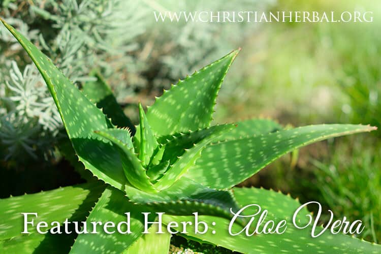 Featured Herb: Aloe Vera