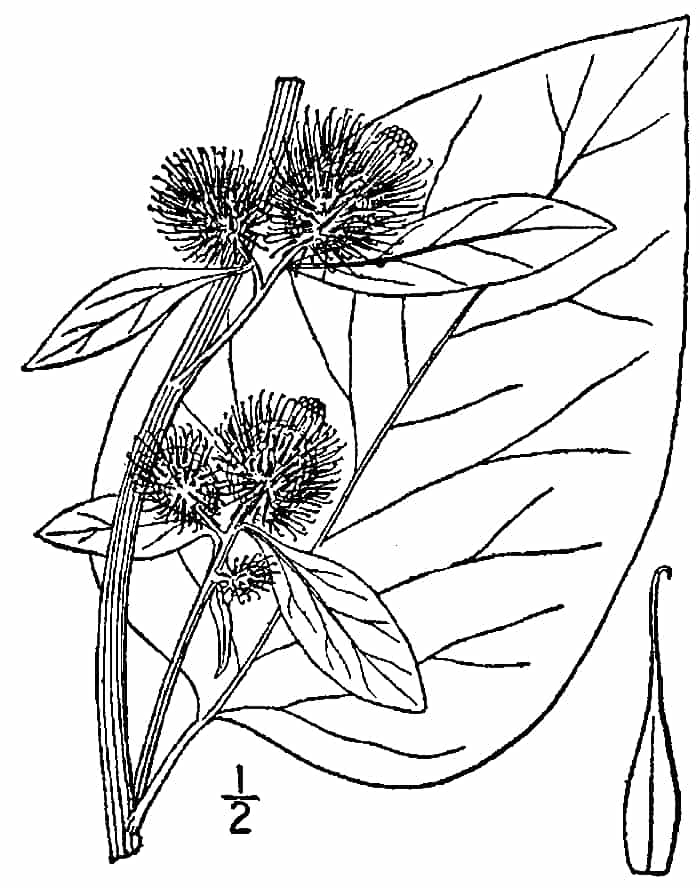 Herb of the Month: Burdock
