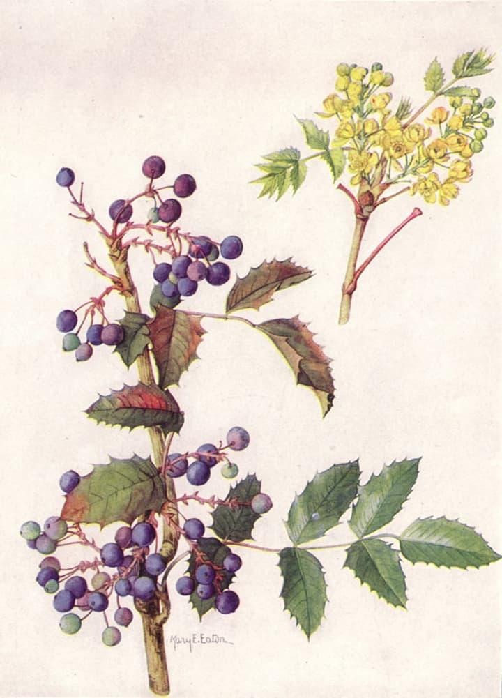 Oregon Grape Root Painting @shatulwellness @jasminejlucero