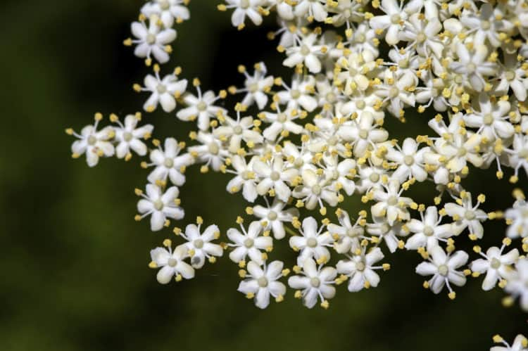 elderflowers closeup