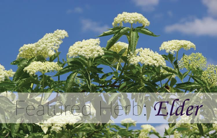 Featured Herb: Elder