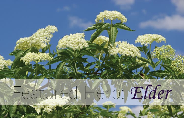 featured-herb-elder