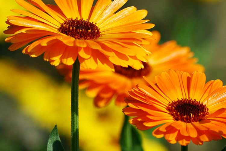 Featured Herb: Calendula