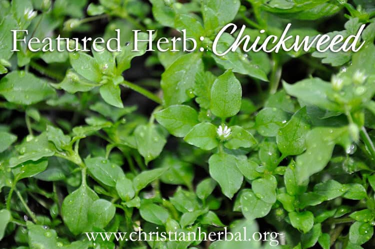Featured Herb: Chickweed