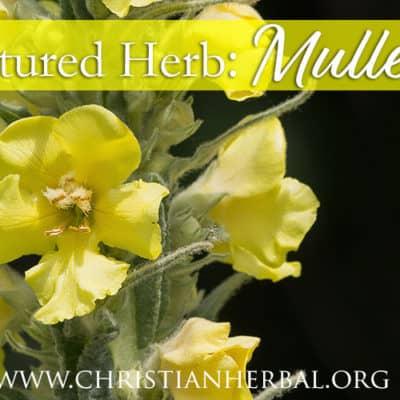 Featured Herb: Mullein