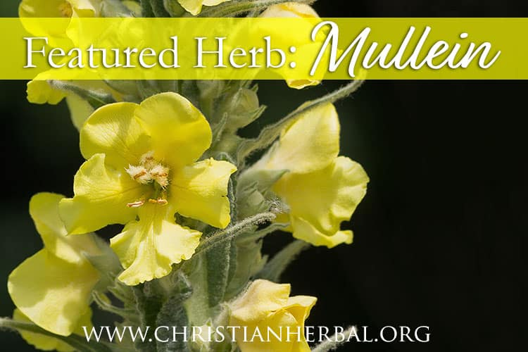 Featured Herb: Mullein