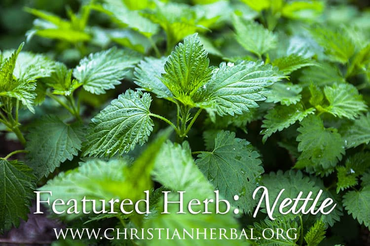 Featured Herb: Nettle