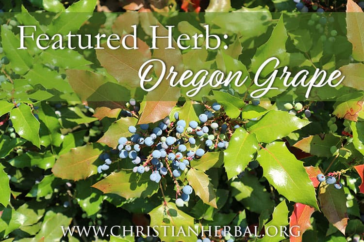 Featured Herb: Oregon Grape