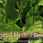 Featured Herb: Plantain