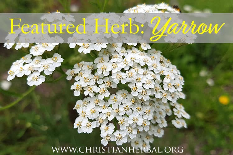 Featured Herb: Yarrow