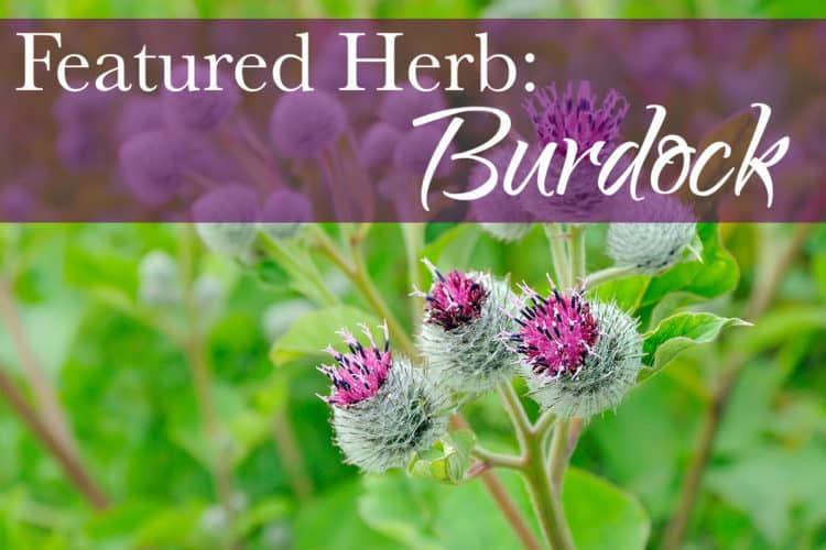 Featured Herb: Burdock