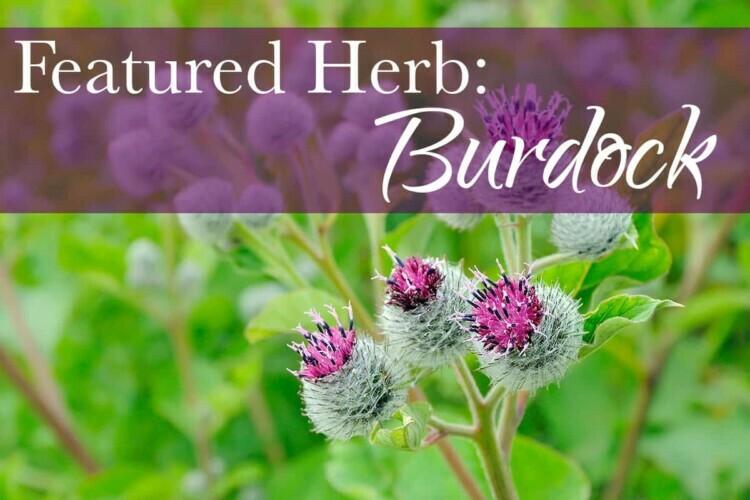Featured Herb: Burdock