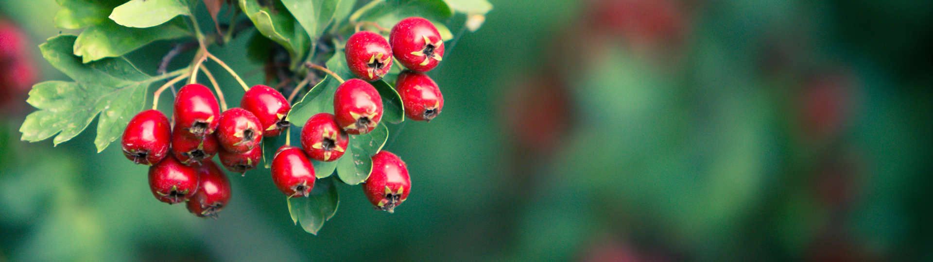 Cooling Herb Hawthorn