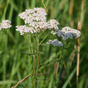 Yarrow - Stimulating Herb